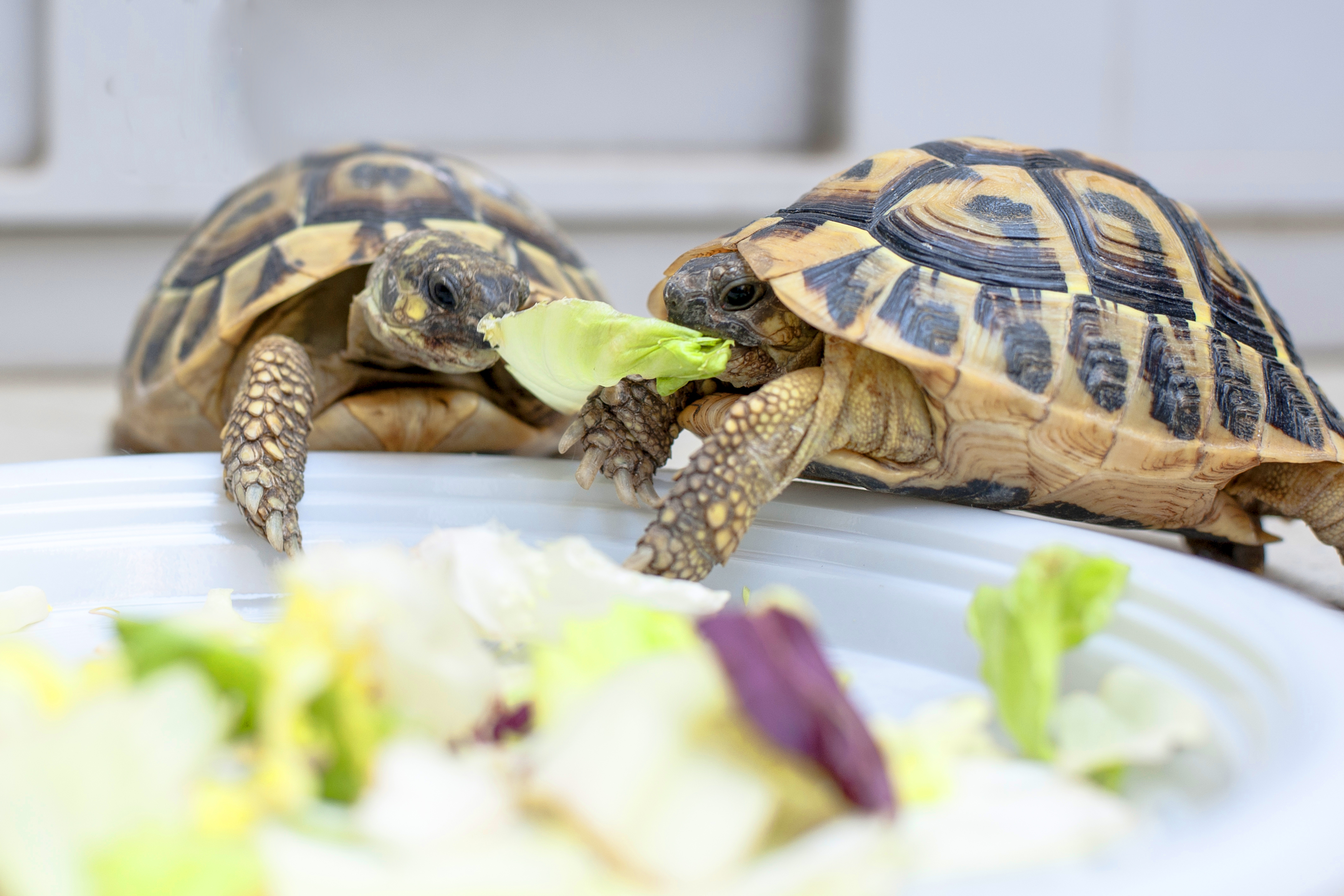 Two turtles share a leaf of lettuce over a plate.